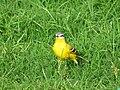 Yellow Wagtail, Janeshwar Mishra Park, Lucknow, Uttar Pradesh.jpg