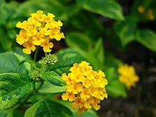 l camara flava flores solamente amarillas