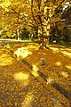 Yellow leaves - panoramio.jpg
