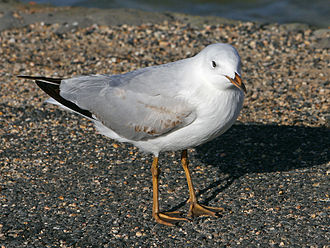 Silver gull - Juvenile (first winter)