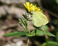 Youngia denticulata and Eurema hecabe 2011-10-09.jpg