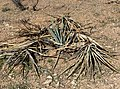 Yucca baccata 10.jpg