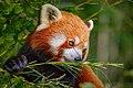 Zürich Zoo Red Panda (17356263526).jpg