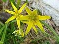 Złoć żółta. (Gagea lutea). 02.jpg