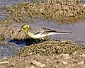 Z 061128 Citrine wagtail breeding female Q0S1485 - Flickr - Lip Kee.jpg