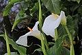 Zantedeschia aethiopica (Witte aronskelk) 01.JPG