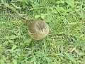 Zapata Sparrow - Laslovarga (2).JPG