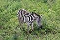 Zebra in Hluhluwe–Imfolozi Park 02.jpg
