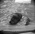 Zeehondenstand in Artis toegenomen, Bestanddeelnr 916-7775.jpg