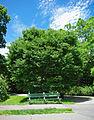 Zelkova schneideriana tree.jpg
