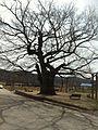Zelkova tree at Taejangri.jpg