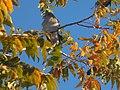 Zenaida asiatica (paloma aliblanca) día nevado.jpg