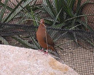 Revillagigedo Islands - The Socorro dove (Zenaida graysoni) survives only in captivity at present