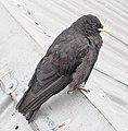 Zugspitze - bird.jpg