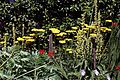 'Achillea filipendulina' fernleaf yarrow Gold Plate in Walled Garden of Parham House West Sussex England.jpg