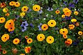 'Calendula officinalis' and 'Nigella hispanica' in Walled Garden of Goodnestone Park Kent England.jpg