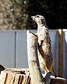 'Suricata suricatta' Meerkat suricate at Capel Manor College Gardens Enfield London England 1.jpg