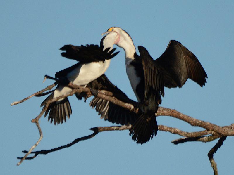File:(1)Cormorants-2.jpg