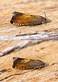 (1233) Pammene aurita (Pair) (20223340645).jpg
