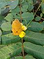 (Senna alata) flower at Mudasarlova Park 03.JPG