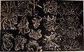 Über japanische und andere Euryalae (1911) (20358399422).jpg