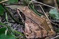Šumska žaba (Rana dalmatina).jpg