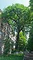 Величавий дуб, Святошинський район 02.jpg