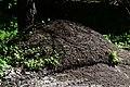 Вепрове Мурашник рудих лісових мурах DSC 0550.jpg