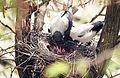 Гнездо вороны.jpg