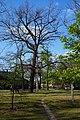 Гола Пристань Вікові дуби.jpg