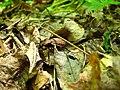 Жужелица шевелит старые листья.JPG