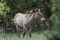 Кінь Пржевальського гуляє у Зоні відчуження.jpg