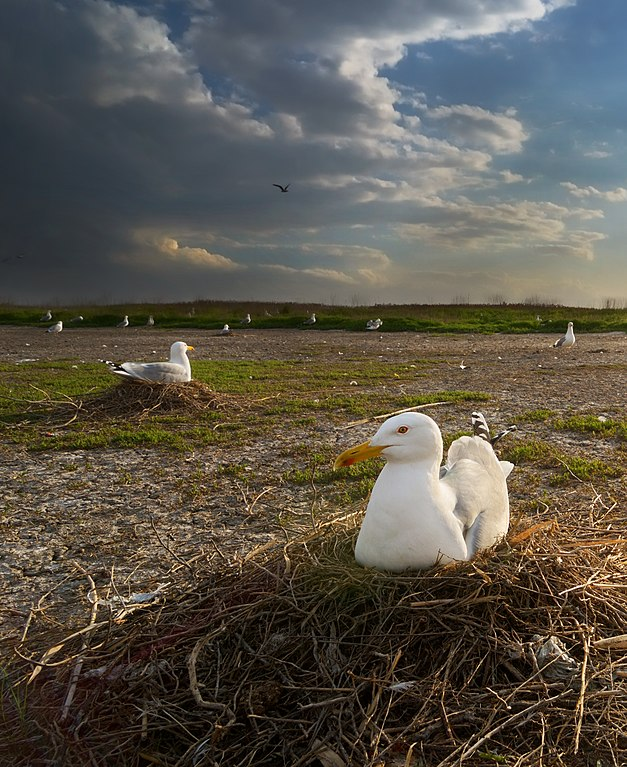 Мартини на озері Солоний Лиман, © Сергій Рижков, CC-BY-SA 4.0