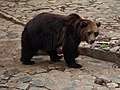 Мечка от Старозагорската зоологическа градина.jpg