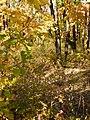 Осеннее цветение рододендрона даурского.jpg