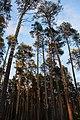 Сосны на закате в Черняевском лесу.jpg