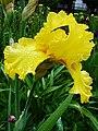 Цвітіння ірисів в ботанічному саду ТНУ імені В. І. Вернадського,.jpg