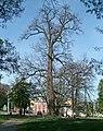 Чернігів. Багатовіковий дуб біля центрального парку.JPG
