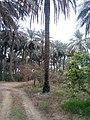 بستان نخيل في الخالص 109.jpg