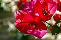 گل کاغذی- Bougainvillea 13.jpg