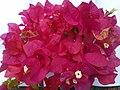 காகிதப் பூ (Bougainvillea glabra)1.jpg