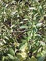 சீமை நாயுருவி 3 (stachytarpheta jamaicensis ).jpg