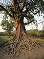 ต้นศรีมหาโพธิ์ - panoramio.jpg