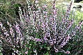 ბალი მენახირის Prunus georgica (tenella) Zwergmandel (2).JPG