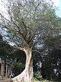 イスの木 .jpg