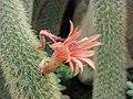仙人掌-黃金柱 Cleistocactus winteri -倫敦植物園 Kew Gardens, London- (9207602234).jpg