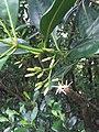 八里挖子尾自然保留區水筆仔初花苞及花開的模樣.jpg