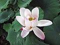 古代蓮 Nelumbo nucifera 'Ancient Pink' -深圳洪湖公園 Shenzhen Honghu Park, China- (12338761034).jpg