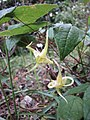 宝興淫羊藿 Epimedium membranaceum (Epimedium davidii) -比利時 Ghent University Botanical Garden, Belgium- (9213304689).jpg
