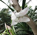 文殊蘭屬 Crinum macowanii v variegatum -比利時國家植物園 Belgium National Botanic Garden- (9226996903).jpg